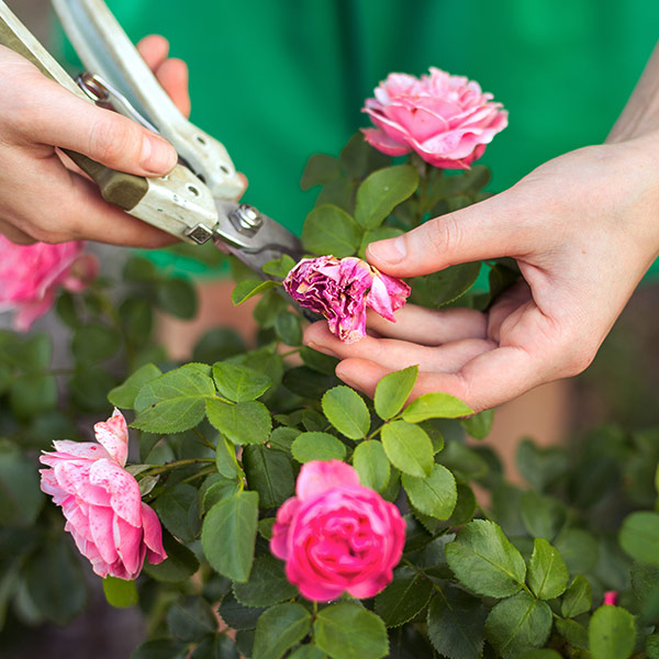 deaheading roses